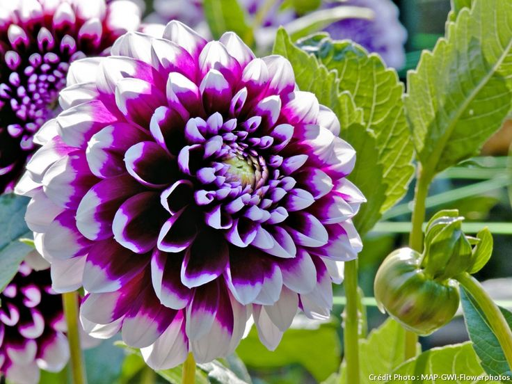 51 best Fleurs violettes | Purple flowers images on Pinterest ...