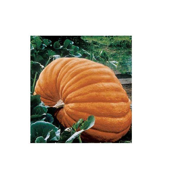Dovleacul mare, rotund ATLANTIC GIANT este un soi cu o perioada de vegetatie de circa 125 zile care poate atinge dimensiuni foarte mari.Culoarea exterioara este gri-galbui iar miezul este galben. Dovleacul mare, rotund ATLANTIC GIANT se recolteaza,de regula, toamna tarziu.Numar de seminte/gram:3-6. Durata facultăţii germinative: 5-8 ani. Dovleacul mare,rotund ATLANTIC GIANT se cultiva direct in camp. Norma de seminţe la ha: 8-10 kg. Le gasiti la #Pestre la numai 2,10 lei…