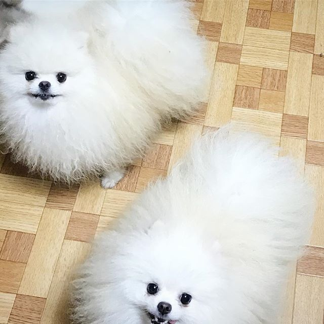 外産の子が今年続々ヒートきます♡ . #pomeranian #whitedog #whitepomeranian #dog #dogstagram #dogsofinstagram #tinydog #cutedog #ポメ #ポメラニアン #博美犬 #愛犬 #犬 #ブリーダー #ペットショップ #かわいい #もふもふ #ペット