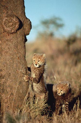 *Cheetah cubs hiding behind a tree, Serengeti (by Mitsuaki Iwago)
