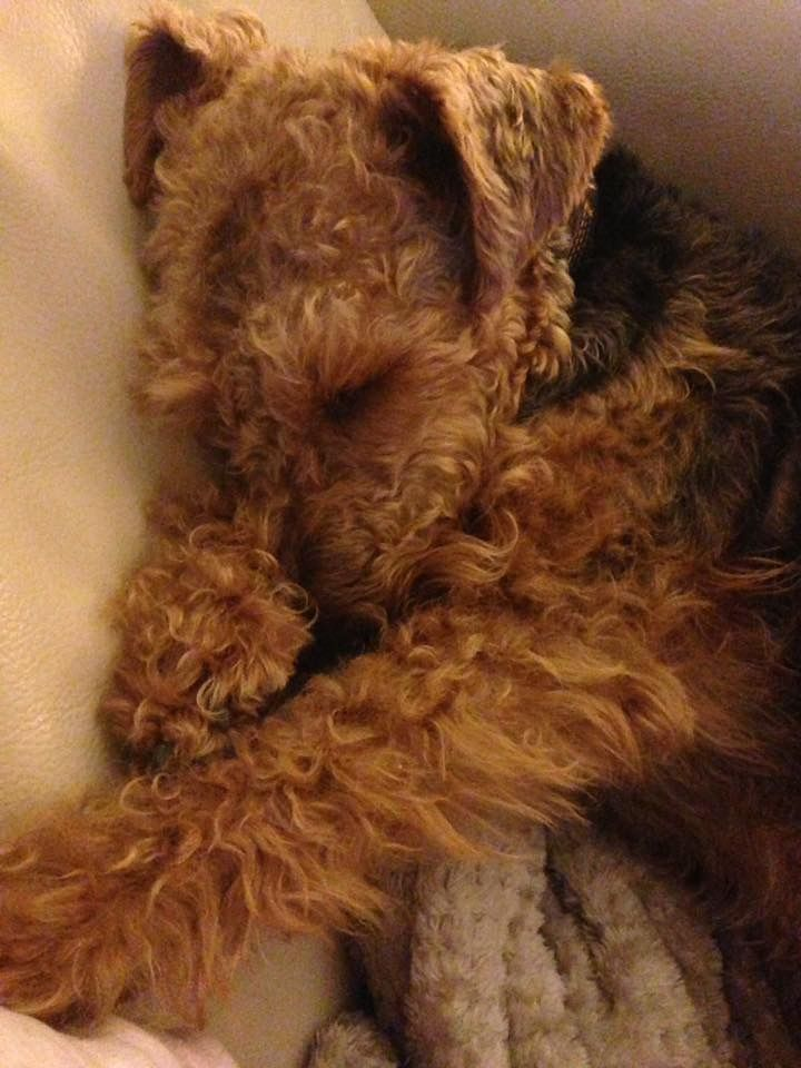 Tired Welsh Terrier, Griff