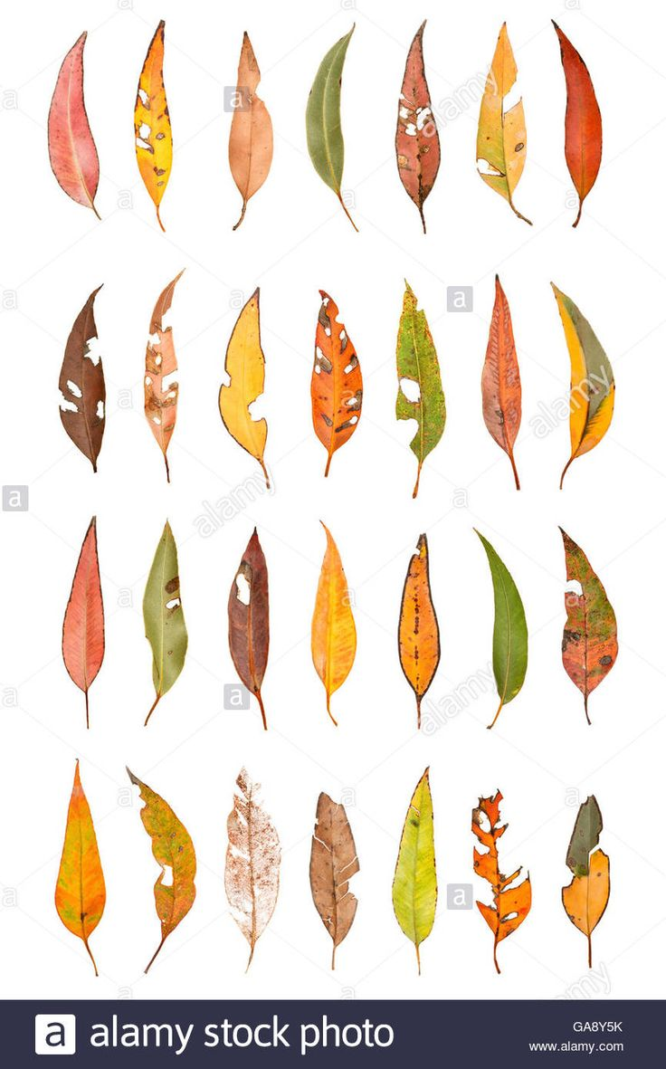 Eucalyptus Leaf Composite (Eucalyptus sp) Denmark Shire, Warren Stock Photo, Royalty Free Image: 109605711 - Alamy