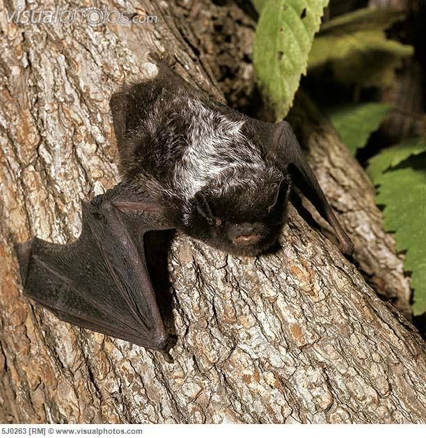 Check out this cool guy. The silver-haired bat (Lasionycteris noctivagans) is found in Bermuda, Canada, Mexico, and the United States.Silver-haired bat sare also known as silverwings. They are nearly black, with silvery-tipped hairs on back, giving frosted appearance.Human activities such as logging, clear-cutting for development and roads, and general deforestation may pose a threat for the bat in the not too distant future.
