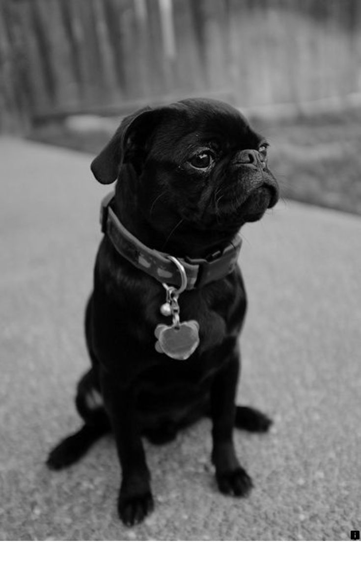 Read Information On Pug Price Follow The Link For More Enjoy