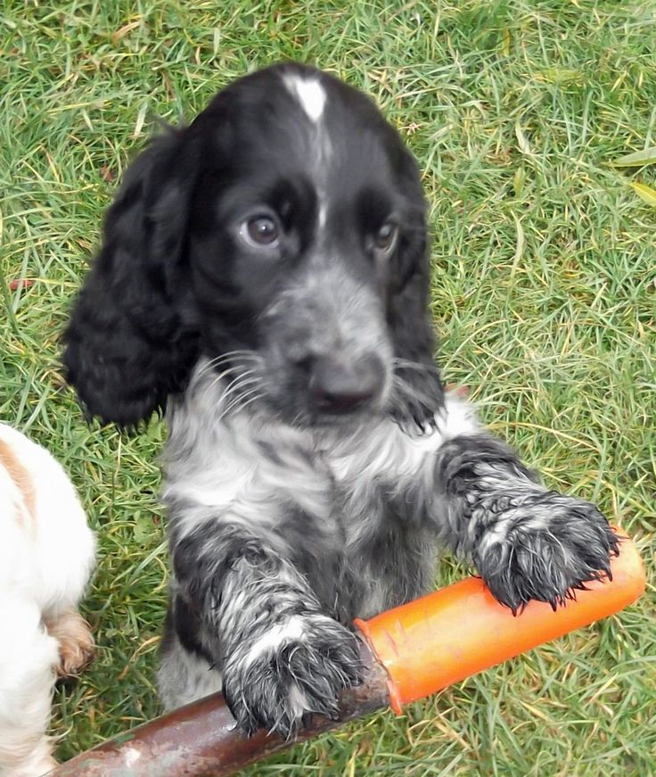 Aninimal Book: 212 best Roan Springer Spaniels and Roan Cockers images on ...