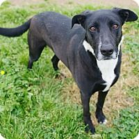 Border Collie/Labrador Retriever Mix Dog for adoption in Iola, Texas - Malcolm
