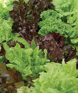 """Five favorites in one pack. Burpee Exclusive  Five classic lettuce types/textures/colors:  Days to Maturity: 45-50  daysSun: Full Sun  Sowing Method: Direct Sow/Indoor Sow  Spread: 6"""" Height: 9-15"""" Thinning: 8 inches Thinning   is the process of removing seedlings to achieve proper spacing between each. For indoor seed start save healthiest seedlings and snip off the others at the soil line. For garden started seeds thin to recommended spacing"""
