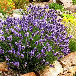 """English lavender is the most fragrant, but Spanish lavender's deep purple """"rabbit ears"""" stand out. compact form Lavandula angustifolia 'Thumbelina Leigh' from High Country Gardens. It stays 12 to 15 inches tall."""