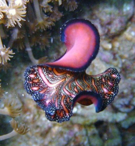 Pseudobiceros bedfordi (nudibranch) from North Sulawesi, Indonesia