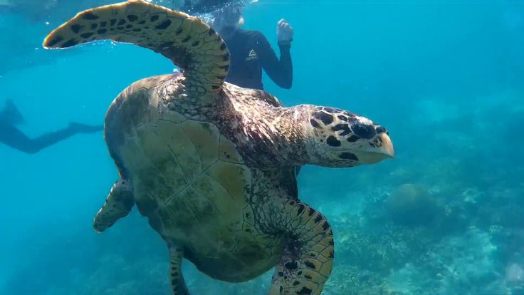 Swimming With Sea Turtles on the Great Barrier Reef
