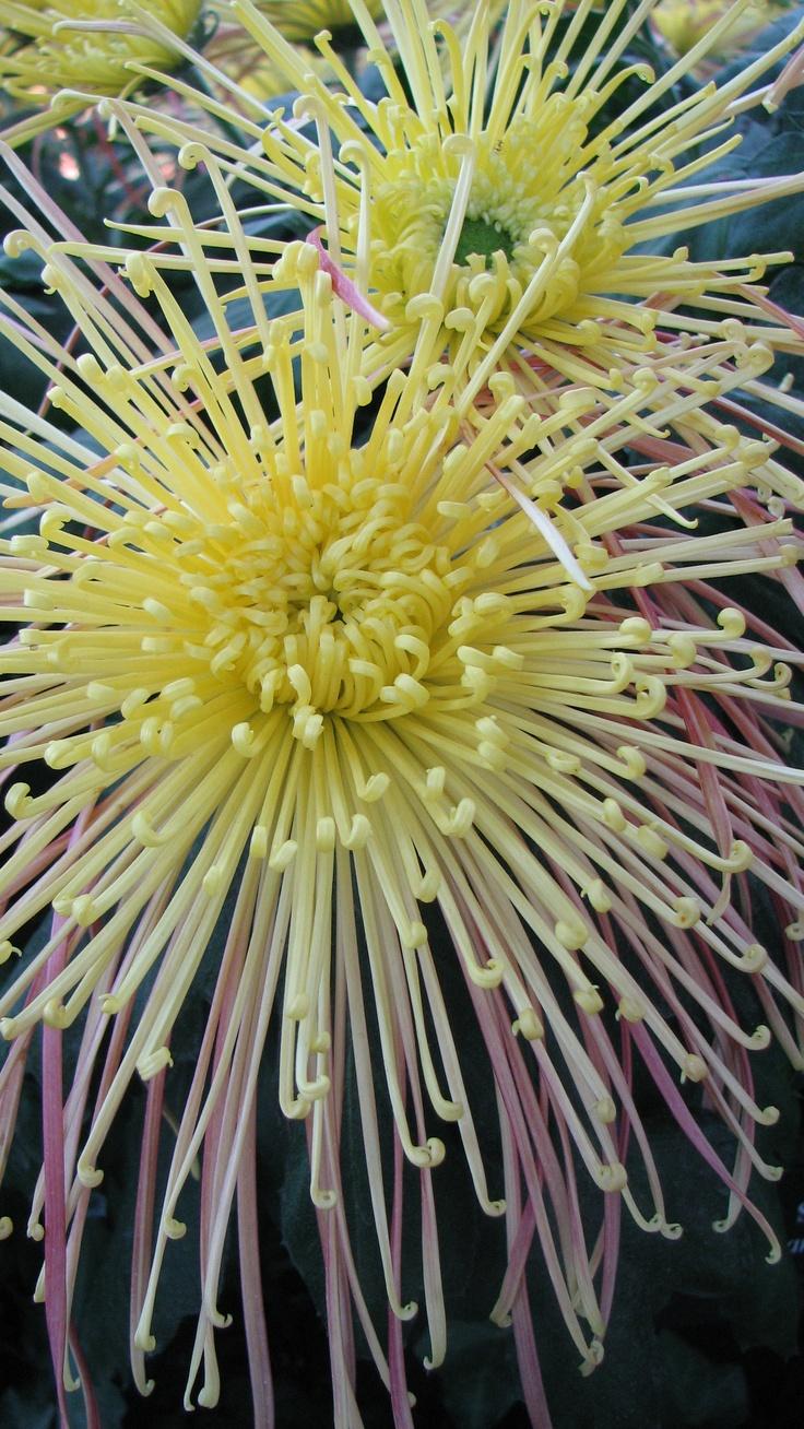 Spider Mum, Chrysanthemum x morifolium 'Kishinonishi' #LongwoodGardens