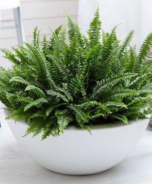 samambaia exatltata Para pequenos espaços podemos optar por plantas em vasos menores, que poderão ser presos à parede, como as samambaias (Nephrolepis).  Ou, ainda, a avenca (Adianthum) e o cabelo-de-noiva (Muehlenbechia complexa).