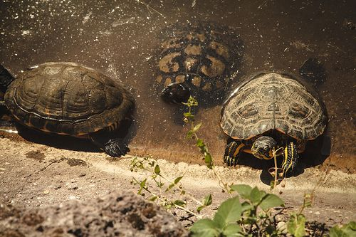 Oltre 25 fantastiche idee su laghetto per tartarughe su for Stagno per tartarughe