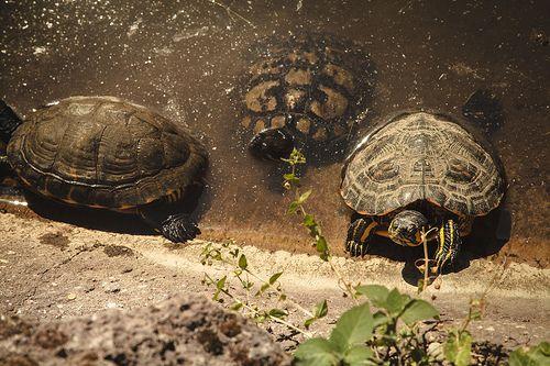 17 migliori idee su laghetto per tartarughe su pinterest for Stagno tartarughe