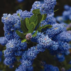 Ceanothus thyrsiflorus  Pacific Blue has masses of bright blue flowers that cover this shrub from mid-summer. It is particulary fast growing with dark green, glossy foliage. Also known as the Californian lilac is ideal for informal hedges, coastal planting and lo...