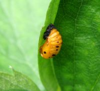 Ladybug Pupa, don't be scared!