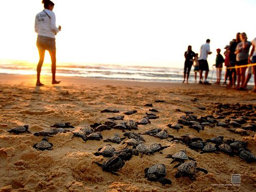 South Padre Island. Kemp Ridley turtle release. Texas Parks & Wildlife