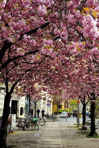Cherry Blossom in Hamburg, Germany