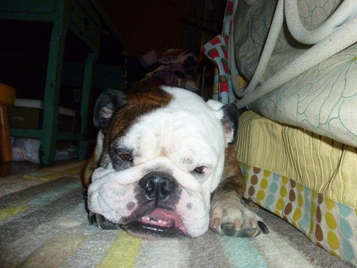 English bulldog relaxing on a rug (photographer: Woolly Volition)  Prints and other merchandise available at: http://woollyvolition.deviantart.com/prints/?utm_source=deviantart&utm_medium=userpage&utm_campaign=printstab / http://www.zazzle.com/woollyvolition / http://www.cafepress.com/WoollyVolition