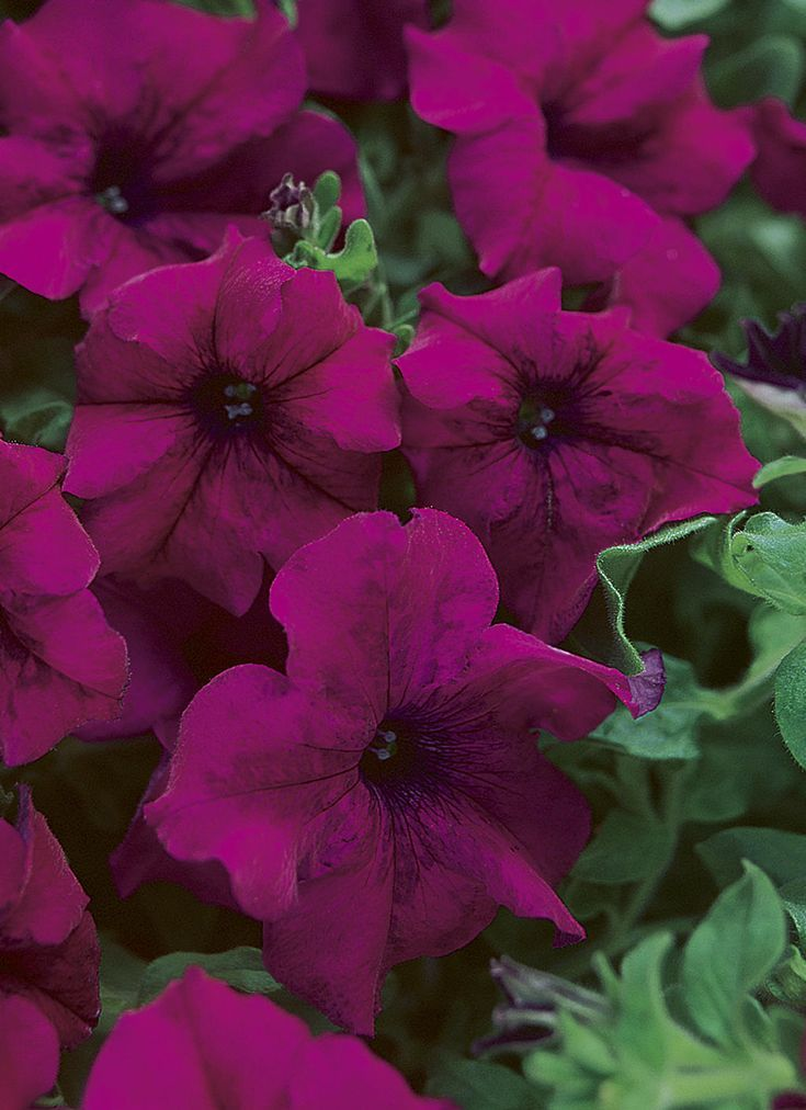 Petunias Colors Petunias Colors Petunien Farben Couleurs De