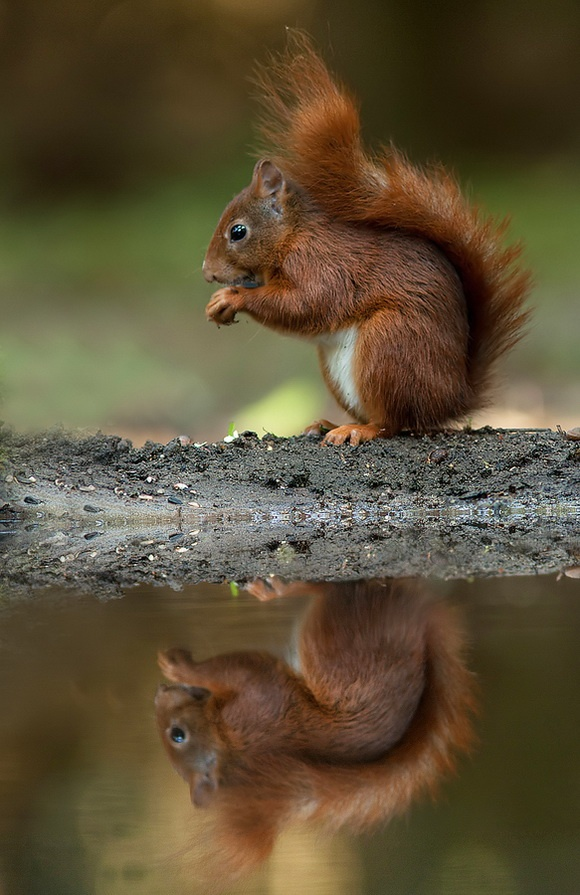 Squirrels will bury, recover, move, rebury the same nuts as much as 30+ times, stealing each other's stashes, stealing their stolen nuts back, etc.  This helps plants to spread and fluorish over wider areas than they otherwise might.
