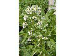 Armoracia rusticana - křen selský Zahradnictví Krulichovi - zahradnictví, květinářství, trvalky, skalničky, bylinky a koření