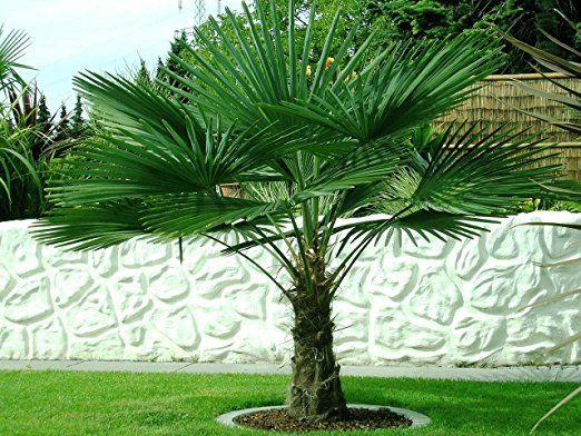 Trachycarpus fortunei ca. 160 cm. Frostharte Hanfpalme bis -17 Grad Garten Ideen Balkon Terasse Garten Pflanzen Ideen