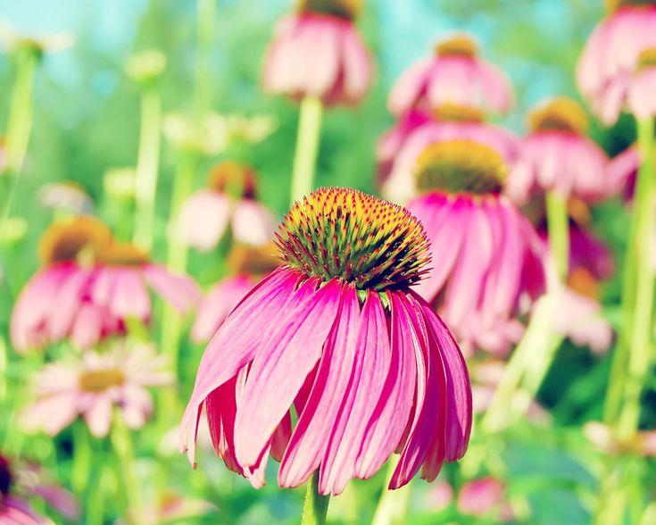 Purple Coneflower Wallpapers: 253 Best Art Flowers Images On Pinterest
