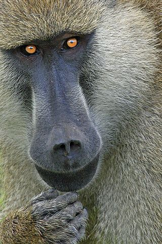 ~~Here's Looking At You ~ Guinea Baboon by Les Coombes~~
