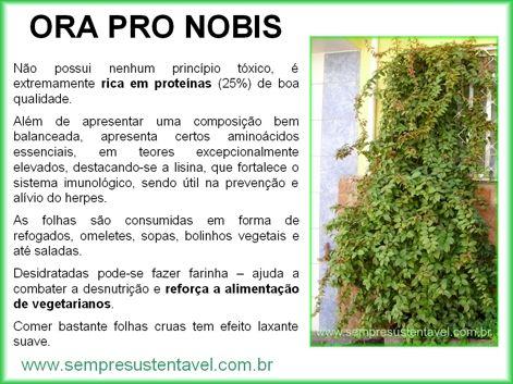 Peréskia Aculeata - ora-pro-nobis