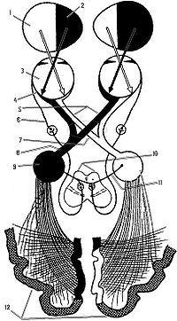 Проводящие пути зрительного анализатора 1 Левая половина зрительного поля, 2 Правая половина зрительного поля, 3 Глаз, 4 Сетчатка, 5 Зрительные нервы, 6 Глазодвигательный нерв, 7 Хиазма, 8 Зрительный тракт, 9 Латеральное коленчатое тело, 10…