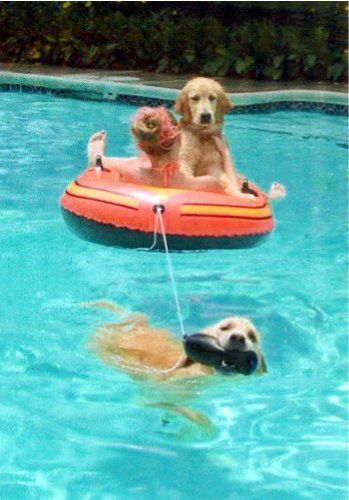 Swimming Pool - Golden Retrievers : Golden Retriever Dog Forums