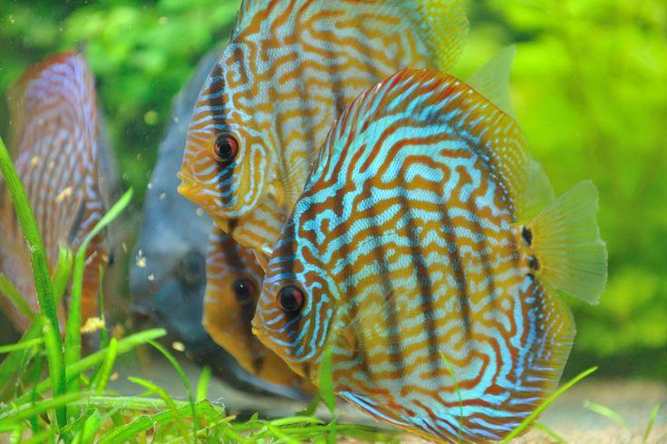 Diskus Fische beim Fressen