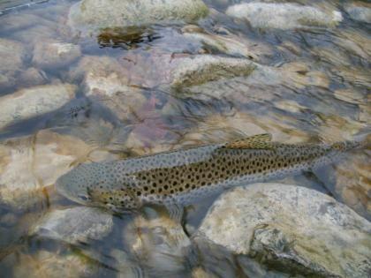 La truite commune (fario) et sa pêche. Articles (façon wiki) sur l'ichtyologie et l'environnement en rapport avec la pêche. Pêche sportive : pêche aux leurres, pêche à la mouche, carnassiers, truite, mer.