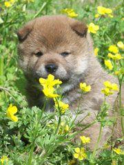cute shiba inu puppy for sale