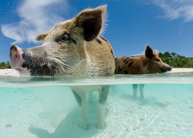 Maiali nel mare cristallino delle Bahamas, Immagini Divertenti