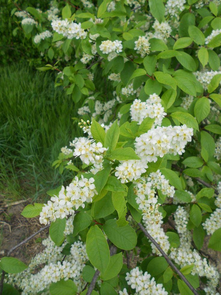Zelnice meggy/fehér virágú májusfa (április - Marcali-medence) - 2012-ben az év fája