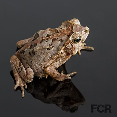 Suriname Crested Toad