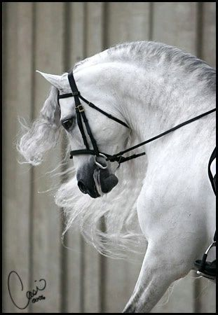 Spanische Pferdezucht mit arabischem Blut   Santiago, Andalusier.