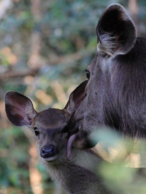 Tiny-creatures:  Sambar Deer - Wilpattu National Park Sri Lanka