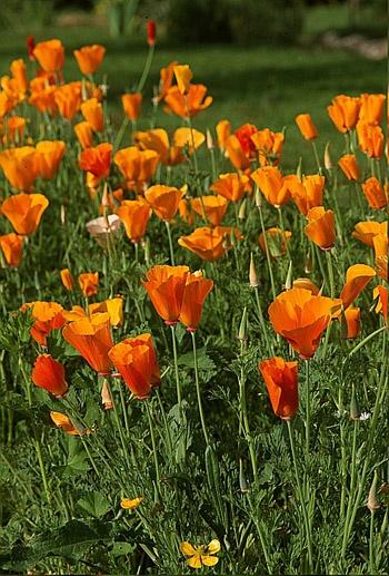 www.rustica.fr - Le pavot de Californie