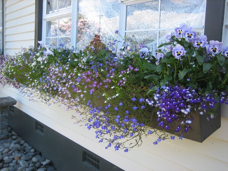 lobelia window box