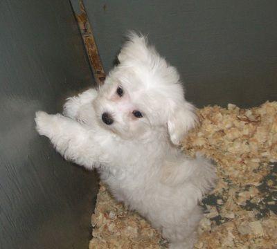 Maltese puppy for sale in CARROLLTON, GA. ADN-27313 on PuppyFinder.com Gender: Male. Age: 13 Weeks Old