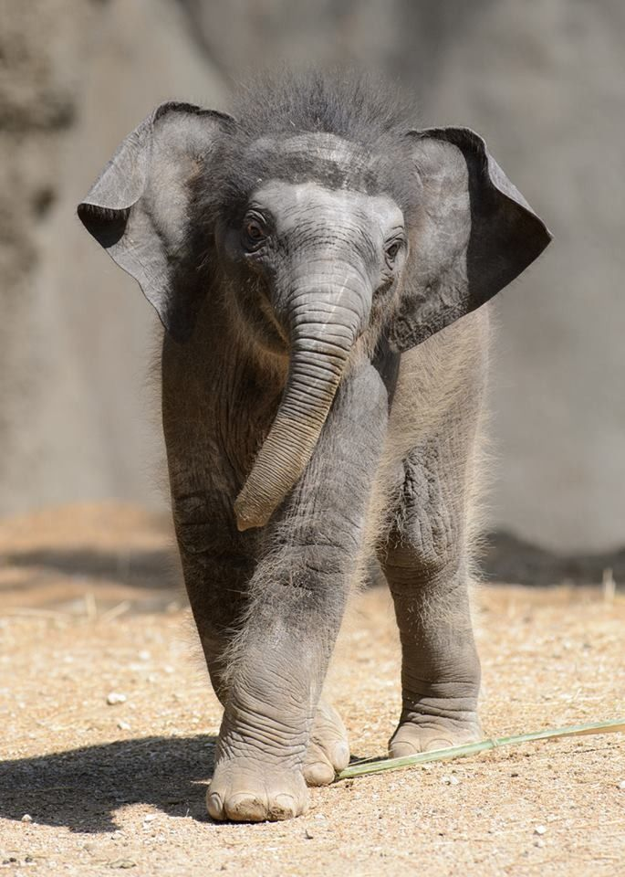llamammama:  This CUTIE is 3 week old Priya, a new baby Asian Elephant, at the Saint Louis Zoo, who made her public debut on May 22nd! Thank you, ZooBorns! I love her, and her fuzzy lil head!