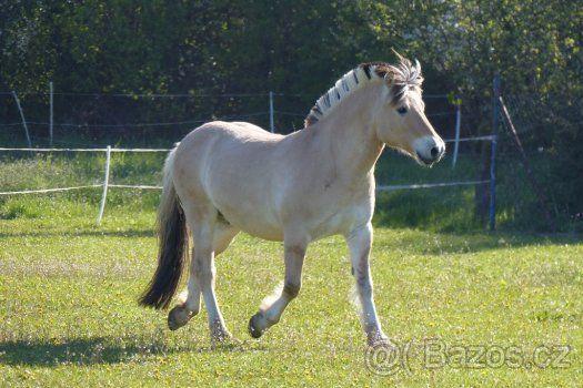 Prodej fjordského koně valach 7 let - 1