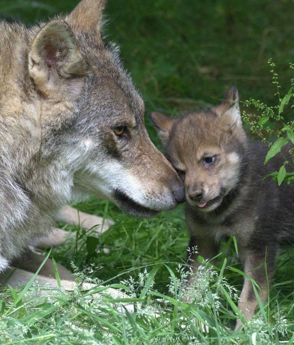 Ember the Eurasian Wolf is an excellent mom to her five playful pups at Cotswold Wildlife Park. Learn more and see video at ZooBorns.com and at http://www.zooborns.com/zooborns/2017/07/five-playful-wolf-pups-pop-out-of-their-den.html