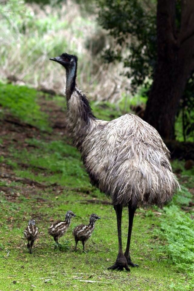 "An Emu Mom With Her Three Chicks. In Australia.  (Or the parent bird could be Dad!  As a Fellow Pinner: ""Magdalena"" pointed out to me; BOTH parents share responsibility in rearing their chicks.)"