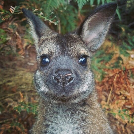 Wally ♥  One of our orphaned wallaby babies that we raise is now out and about in our soft-release area. He only has a few more months to go until he's ready to be released into the wild. :)