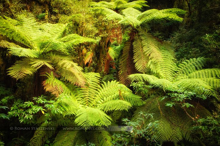 Ancient rain forest. South Island, New Zealand