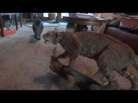 ▶ Four Cats, a Stuffed Bobcat, and a dog make a FUNNY video! - YouTube